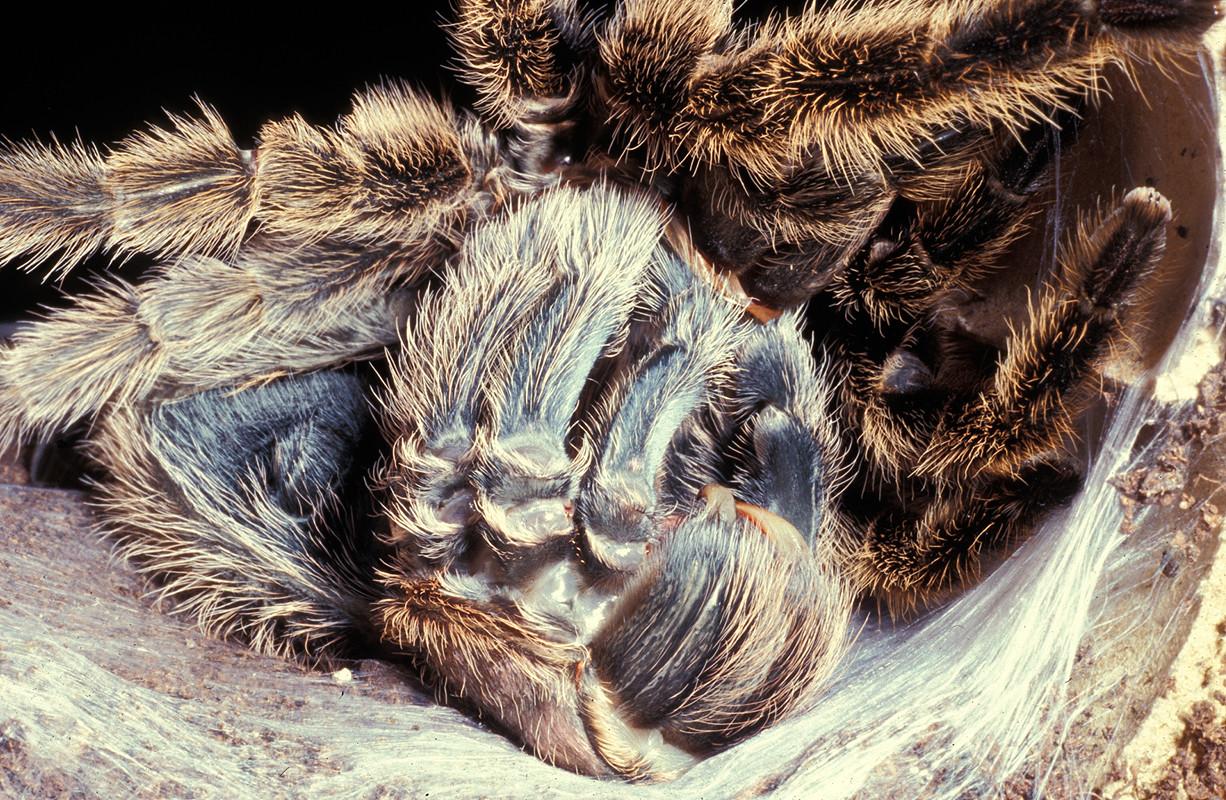 Une mygale sud-américaine (Gramostola rosea) en train de muer!  © Michel Aymerich