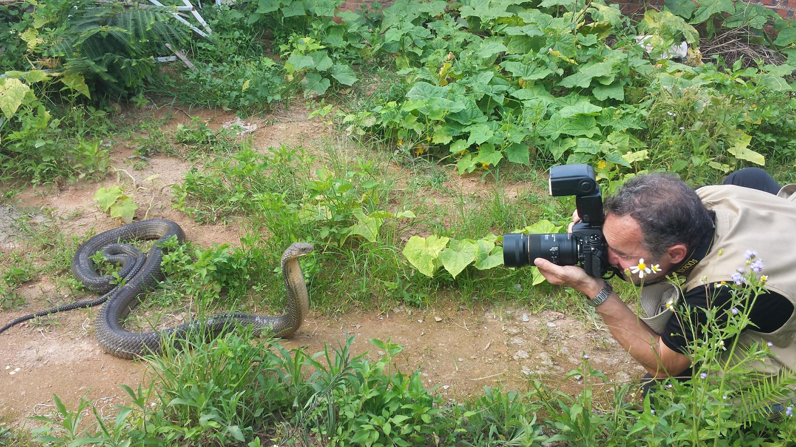 En train de photographier 眼鏡王蛇 cobra royal (Ophiophagus hannah) Guangxi, Chine 2017 ©AYMERICH Michel