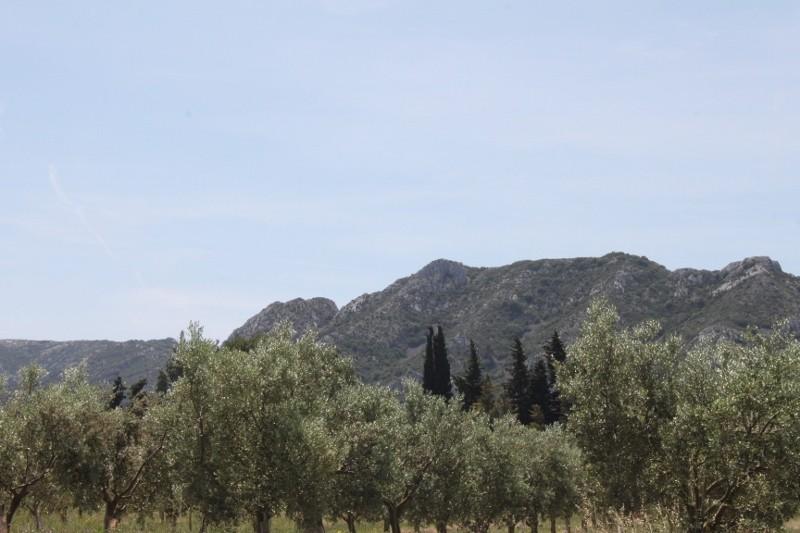 Olivenhain im Naturpark Alpilles
