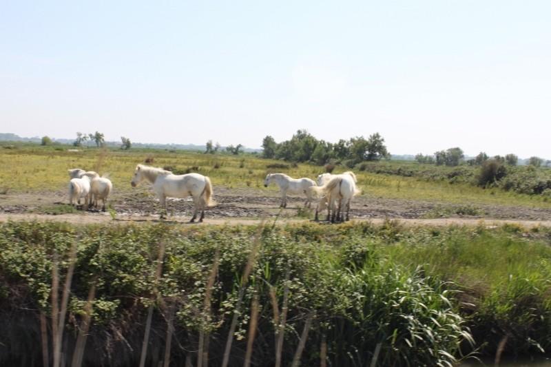 weiße Camargue Pferde
