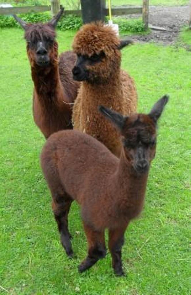Unser kleiner Alpaka-Hengst Franky