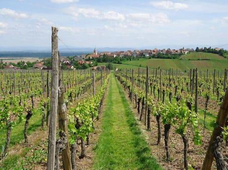 vigne-alsace