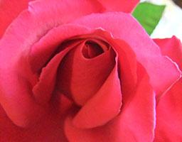 Dunkelrosa Rose, halbgeöffnet