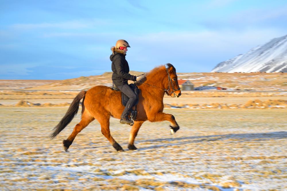 Assa frá Stighúsi, 5 years old, F: Álfarinn frá Syðri-Gegnishólum