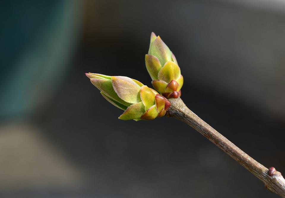 Le bourgeon de lilas (Syringa vulgaris) contre l'hypertension