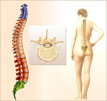 In der ärztlichen Osteopathie ist die Wirbelsäule ein zentrales Organ für die Entstehung von Krankheiten