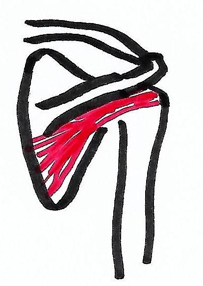 Musculus infraspinatus mit Schulterblatt und Schlüsselbein