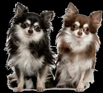 чи-хуа-хуа порода собак фото