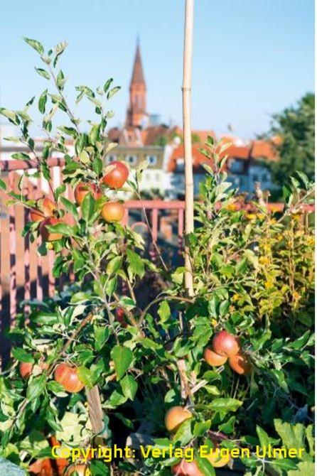 Es müssen nicht immer Erdbeeren sein. Auch Spalierobst gedeiht wunderbar auf einem Balkon. Bildnachweis: Eugen Ulmer KG, Fotograf: Bigi Möhrle