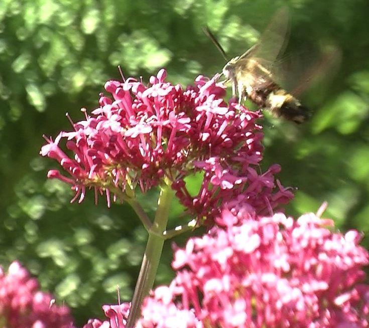Wenn Sie sich das Gießen sparen möchten, dann pflanzen Sie die Rote Spornblume. Diese schneckenresistente Staude wird sogar vom Taubenschwänzchen angeflogen.