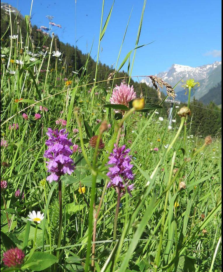 Auf den stark abschüssigen, ungedüngten Bergwiesen gedeihen unzählige Kräuter und  Wildorchideen, wie das fliederfarbene Knabenkraut.