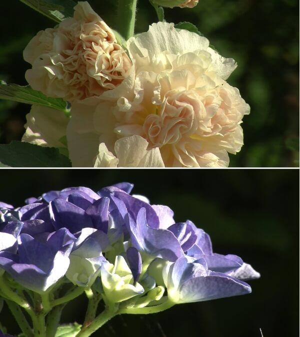 Stimmen Sie mit ab: welche Pflanzenschönheit möchten Sie in einem Video sehen: Stockrose oder Hortensie?