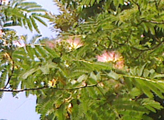 合歓の木(アップ)