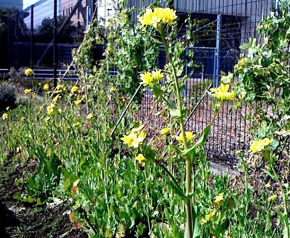 菜の花畑です