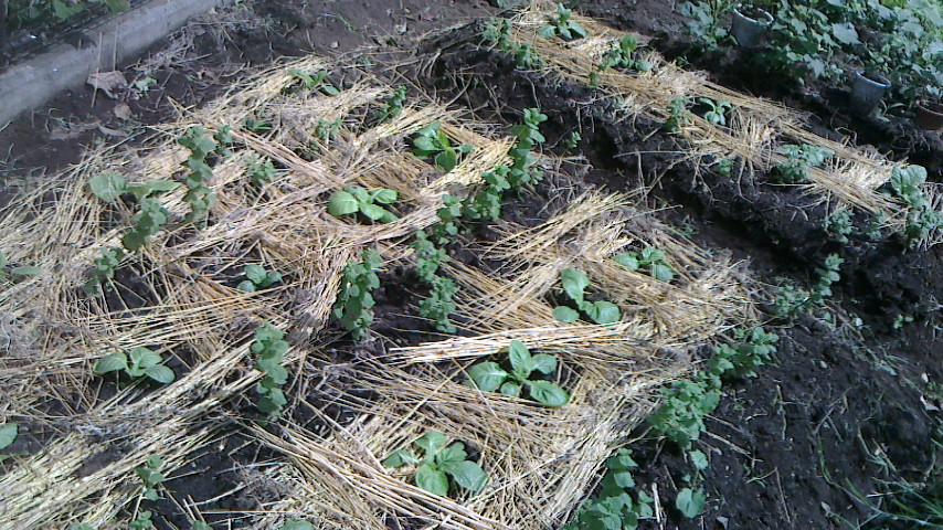 麦わらを敷いて乾燥防止(9月5日)