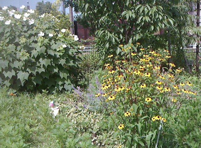 ルドベキアと芙蓉も開花。