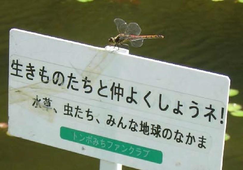 翅を休めるアキアカネ♂(2010年10月2日)