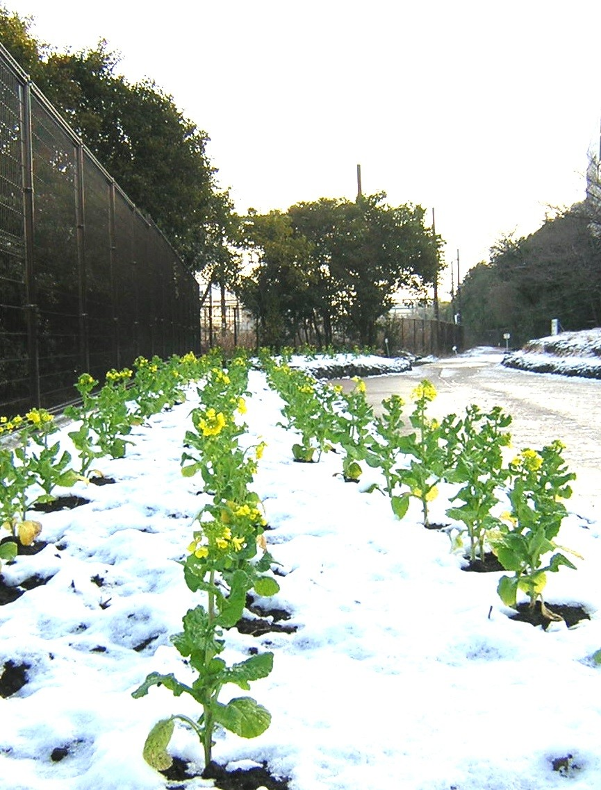 初雪と菜の花(2010年2月2日)