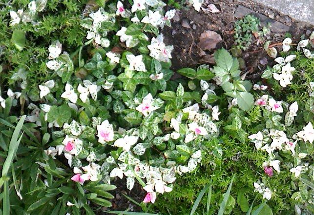 初雪かずらの新芽が綺麗。