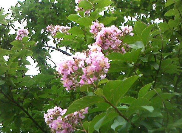 サルスベリ(鶴見区の木)