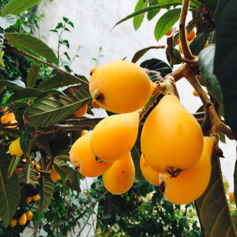 Mispel - Die Frucht