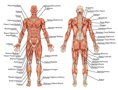 major muscle groups - move well, live well, Human Body