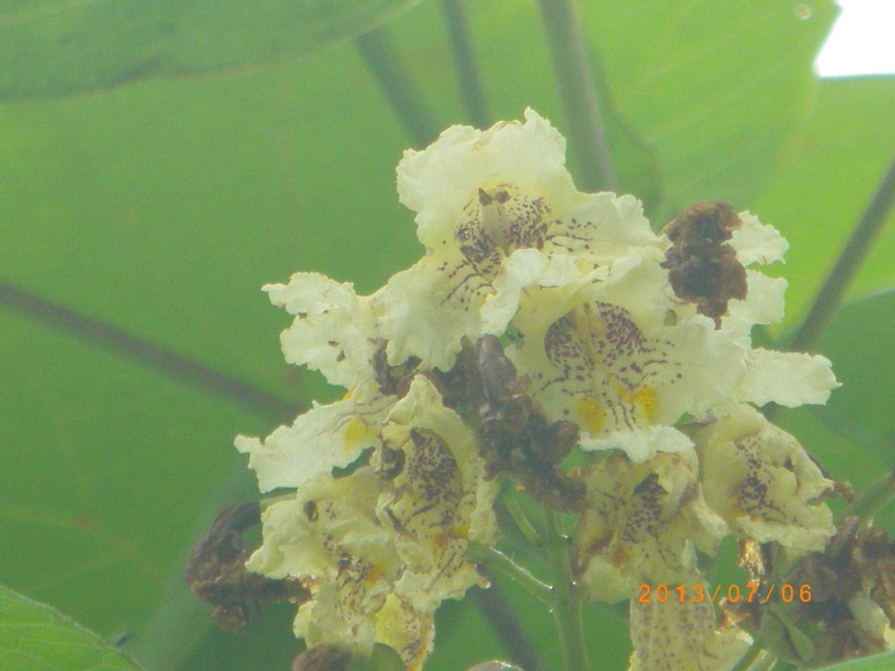 キササゲ 花