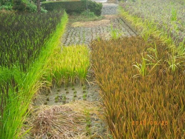 神丹穂 緑米 黒米  など古代米