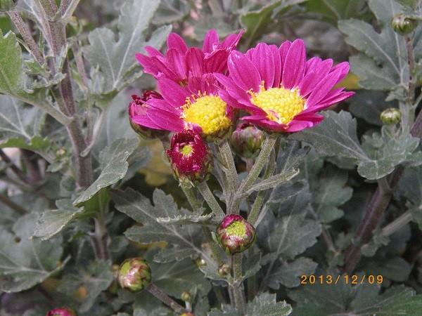 自慢の 素性のいい 寒小菊