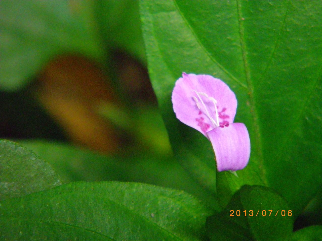 咲き始めました  ハグロソウ
