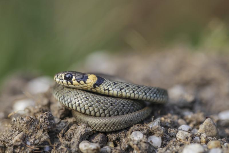 Ringelnatter: Schlange, gefährdet. Die ungiftigen Ringelnattern schwimmen sehr gut und jagen gerne im Wasser nach Fröschen. Die meist graue Natter kann bis zu 1,5 m lang werden. © Ralph Sturm, LBV Bildarchiv