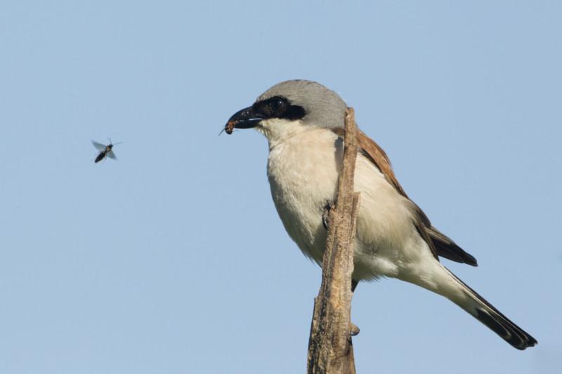 Neuntöter: Singvogel, auf der Vorwarnstufe der Roten Liste. Der Neuntöter ist etwa so groß wie eine Bachstelze. Zu seinem Namen passt sein Verhalten: er spießt Beutetiere, die nicht gleich gefressen werden, an Dornen auf. © Rosl Rössner, LBV Bildarchiv