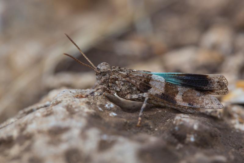 Blauflügelige Ödlandschrecke (Oedipoda caerulescens): Ein Überlebenskünstler, der öde und steinige Flächen benötigt. Wachsen diese Areale zu, verschwindet die Art ganz schnell. © Frank Derer, LBV Bildarchiv