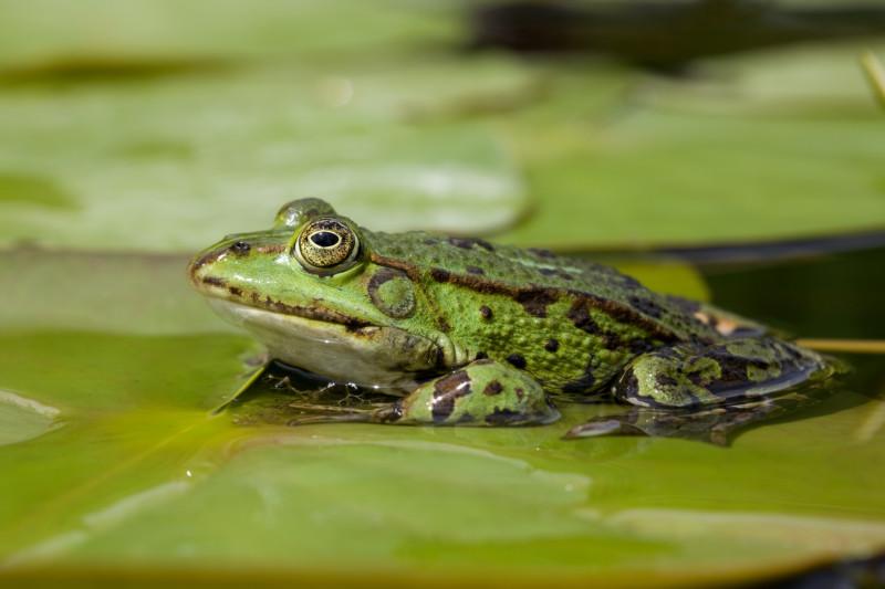 Teichfrosch (Rana esculenta): Eine noch weit verbreitete Froschart, die an ihren Rufen von den anderen Grünfroscharten gut zu unterscheiden ist .© Frank Derer, LBV Bildarchiv