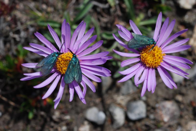 Ampfer-Grünwidderchen (Adscita statices): Das einzige bekannte Vorkommen dieser im Alpenvorland noch weit verbreiteten Schmetterlingsart findet sich auf unseren Flächen.© Dr. Eberhard Pfeuffer, LBV Bildarchiv