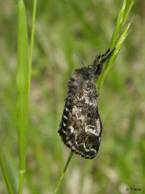 Mondfleck-Bürstenspinner (Gynaephora selenitica): Die schwarz behaarten Raupen sind in manchen Jahren im Herbst sehr häufig zu finden. © Elke Tramp