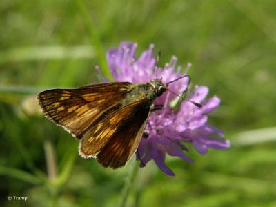 Kommafalter (Hesperia comma): Eine Schmetterlingsart mit sehr geringer Populationsdichte, die bisher nur einmal im Landkreis gesichtet wurde. © Elke Tramp