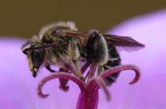 Die Wald-Schenkelbiene findet sich auch in heimischen Gärten. Die Männchen schlafen gerne in den Blüten des Sumpf-Storchschnabels, Foto: © Dr. A. Fleischmann