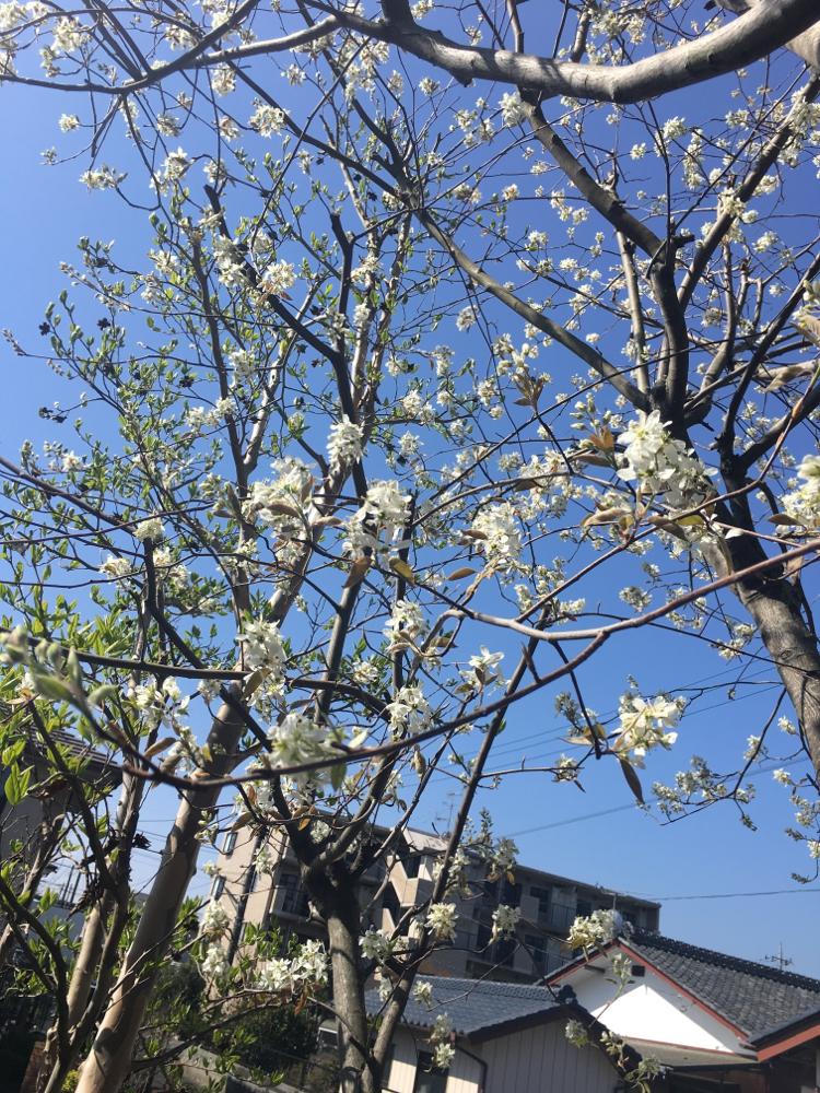 ジューンベリーの花が咲き始めました!6月には、たわわに赤い実をつけます♪