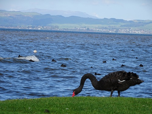 2017.9.15 Lake Rotorua 黒鳥