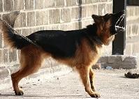 Pourquoi un chien devient-il agressif ?