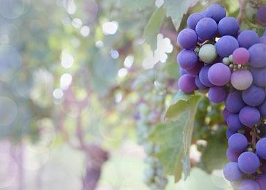 Chien de détection de cochenille de la vigne