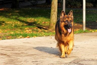 Pourquoi les chiens tournent autour de leurs queues ?