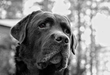 Labrador maladies génétiques