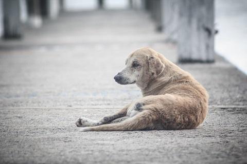 Les Philippines exterminent 500 000 chiens par an