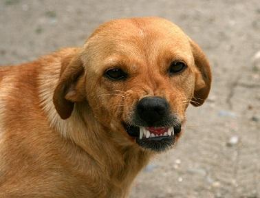 Pourquoi mon chien grogne-t-il ?