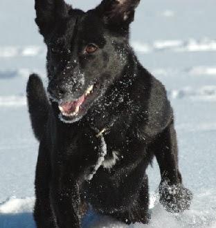 Le chien peut déterminer la taille d'un congénère en écoutant son grognement
