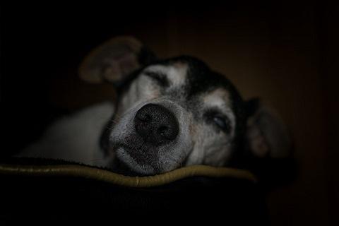Syndrome de dysfonctionnement cognitif canin ou trouble cognitif