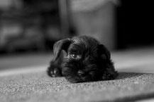 Rapport sur la Gestion de l'espèce canine par la SCC (Société Centrale Canine)