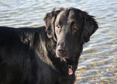 Le cancer du poumon dépisté par le chien ?